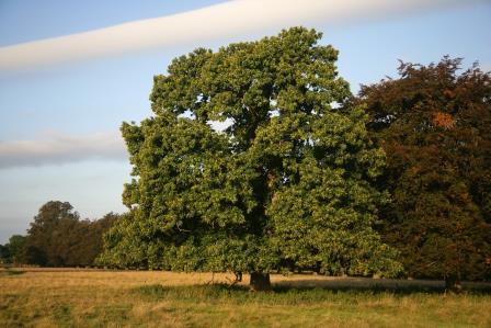 Baum des Jahres 2018: Die Esskastanie