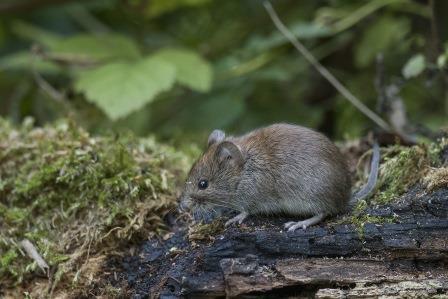 Zunehmende Mäuseaktivität in Forstkultueren - jetzt kontrollieren!