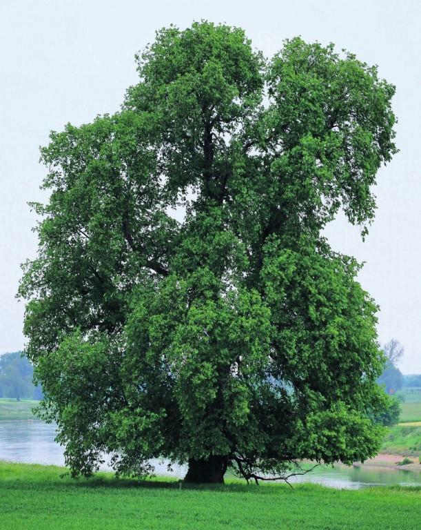 Baum des Jahres 2019
