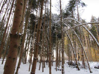 Schneedruck und Schneebruch Fichtenbestand